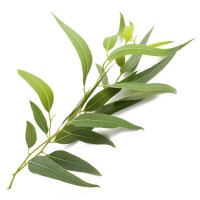 essential oils for snoring eucalyptus